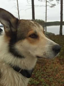 Byns topp hund Kiro i väntan på nya jakter